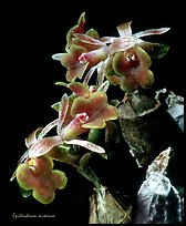 Epidendrum miserum. A species orchid ( color)