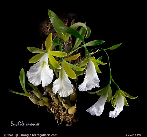 Euchile mariae. A species orchid