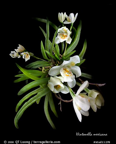 Hintonella mexicana. A species orchid