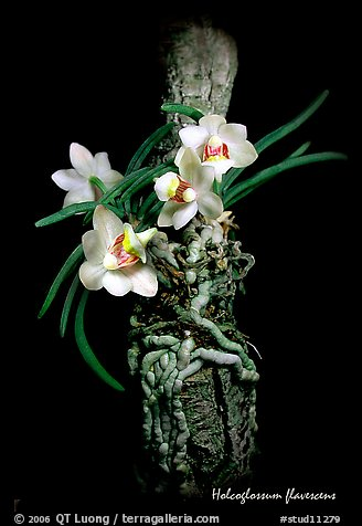 Holcoglossum flavescens. A species orchid (color)