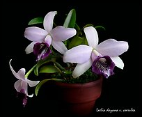 Laelia dayana v. coerulea. A species orchid (color)