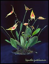 Lepanthes guatalamensis. A species orchid ( color)
