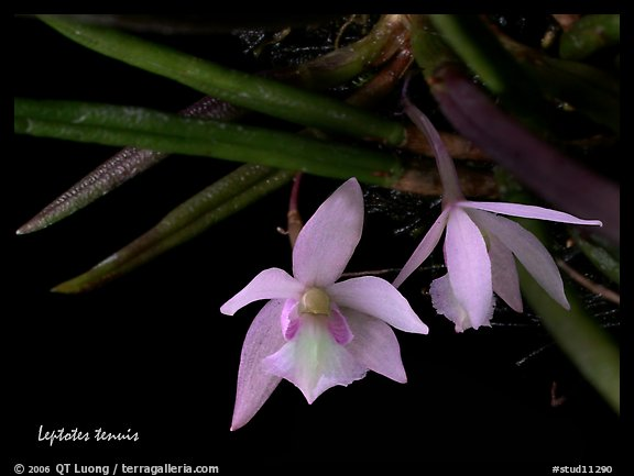 Leptotes tenuis. A species orchid