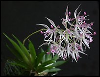 Macroclinium manabinum. A species orchid ( color)
