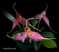 Masdevallia decumata. A species orchid (color)