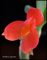 Maxillaria sophronitis. A species orchid ( color)