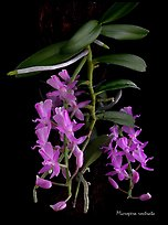 Micropera rostrata. A species orchid ( color)