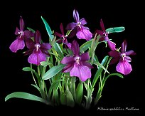 Miltonia spectabilis v. Morelliana. A species orchid ( color)
