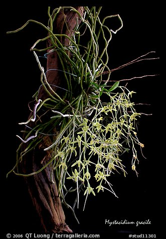 Mystacidium gracile. A species orchid