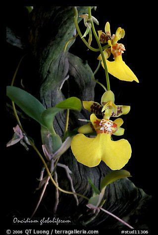 Oncidium globuliferum. A species orchid