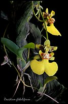 Oncidium globuliferum. A species orchid ( color)