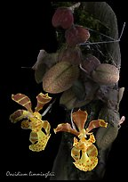 Oncidium limingheii. A species orchid ( color)
