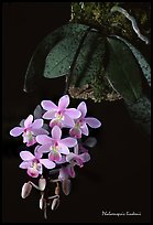 Phalaenopsis lindenii. A species orchid ( color)