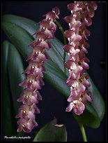 Pleurothallis dentipetalla. A species orchid (color)