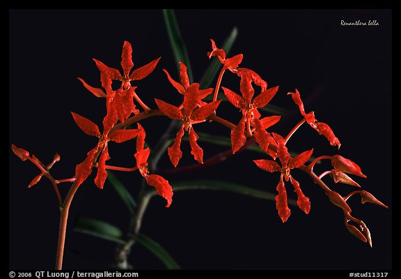 Renanthera bella. A species orchid