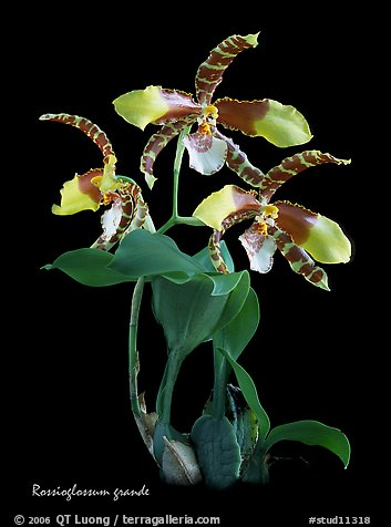 Rossioglossum grande. A species orchid (color)