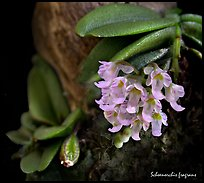 Schoenorchis fragrans. A species orchid ( color)