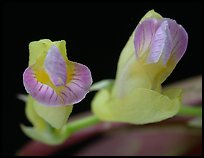 Scleochilus latipetalus. A species orchid (color)