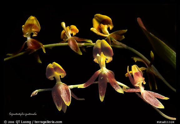 Sigmatostylis guatemala. A species orchid (color)