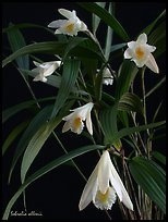 Sobralia allenii. A species orchid ( color)