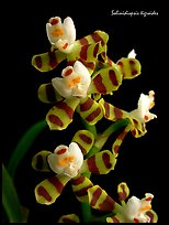 Solinidiopsis tigriodes. A species orchid (color)