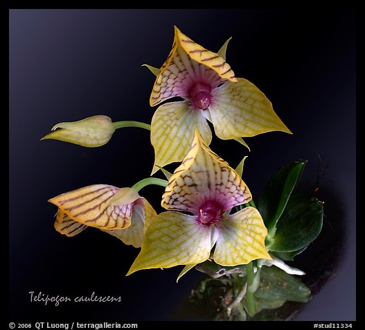 Telipogon caulescens. A species orchid (color)