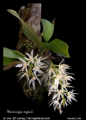 Warmingia eugeneii. A species orchid