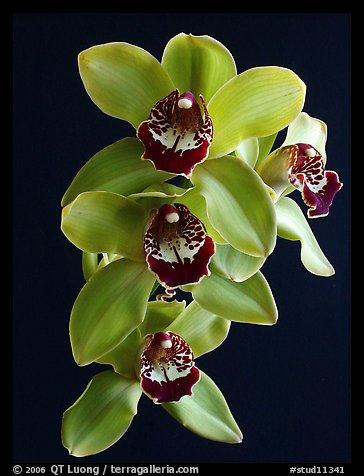 Cymbidium Atlantic Crossing 'Featherhill'. A hybrid orchid