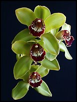 Cymbidium Atlantic Crossing 'Featherhill'. A hybrid orchid (color)