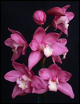 Cymbidium Baltic Sweetheart 'Sarah'. A hybrid orchid ( color)