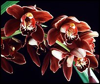 Cymbidium Crackerjack 'Midnight Magic'. A hybrid orchid (color)