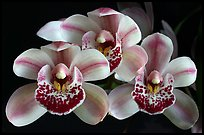 Cymbidium Emma's Love 'Cherry Chip'. A hybrid orchid (color)