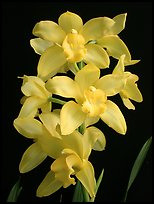 Cymbidium Enzan Delight 'Fluorish'. A hybrid orchid (color)