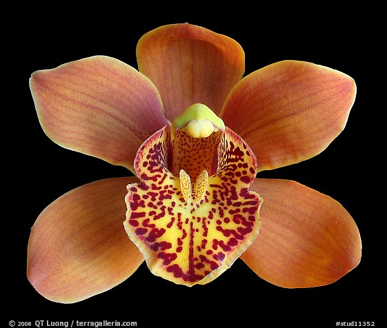 Cymbidium Enzan Forest 'Majolica' Flower. A hybrid orchid (color)