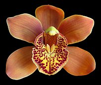 Cymbidium Enzan Forest 'Majolica' Flower. A hybrid orchid ( color)