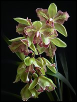 Cymbidium Isle 'Flamingo'. A hybrid orchid (color)