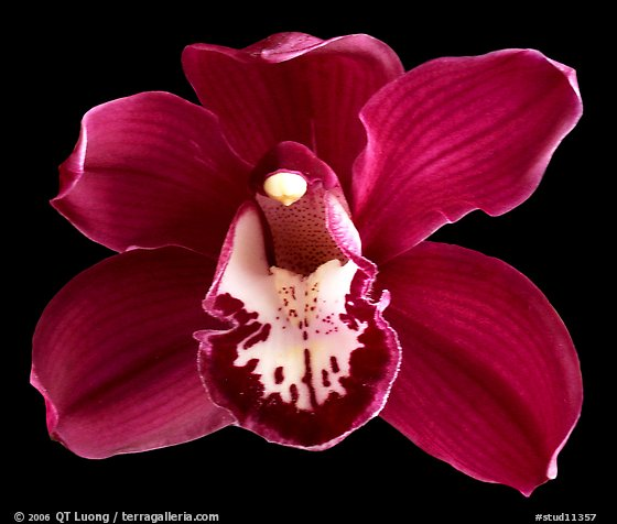 Cymbidium Lady Fire 'Red Angelica'. A hybrid orchid (color)