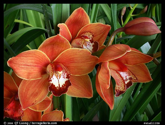 Cymbidium Mighty Sunset 'Annabelle'. A hybrid orchid