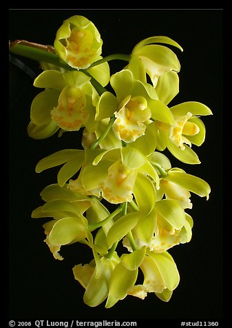 Cymbidium Mini Mary 'Grenadier'. A hybrid orchid