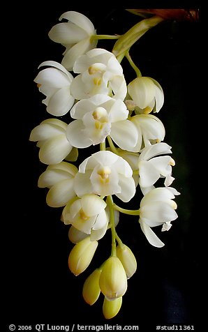 Cymbidium Mini Sarah 'Pearl Fall'. A hybrid orchid (color)