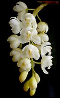 Cymbidium Mini Sarah 'Pearl Fall'. A hybrid orchid ( color)