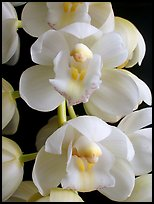 Cymbidium Mini Sarah 'Pearl Fall' Flowers. A hybrid orchid ( color)