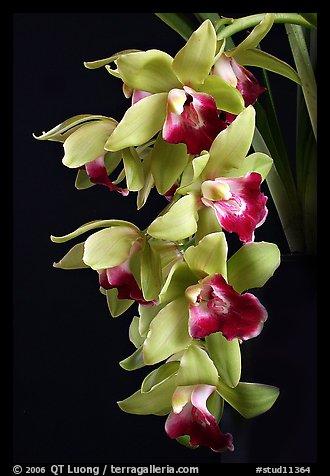 Cymbidium Pearl Dawson 'Procyon'. A hybrid orchid