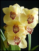 Cymbidium Pine Clash 'Moon Venus'. A hybrid orchid (color)