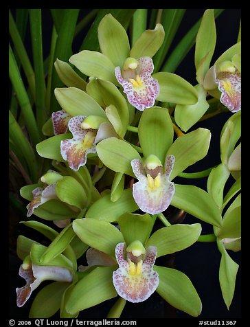 Cymbidium Sarah Jean 'Karen'1. A hybrid orchid