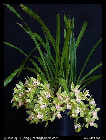 Cymbidium Saran Jean 'Karen'. A hybrid orchid