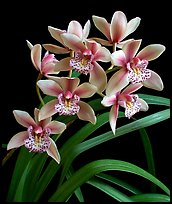 Cymbidium Starbright. A hybrid orchid ( color)