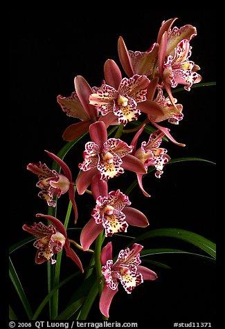 Cymbidium Strathdon 'Cooksbridge Fantasy''. A hybrid orchid