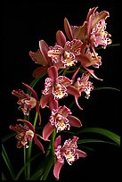Cymbidium Strathdon 'Cooksbridge Fantasy''. A hybrid orchid (color)
