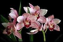 Cymbidium Summer Love 'Dwaft Pink'. A hybrid orchid ( color)